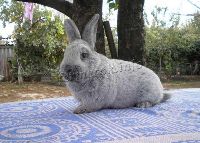 Фото кролика Европейское серебро