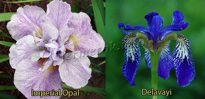 Фото сортов ирисов Imperial Opal, Delavayi