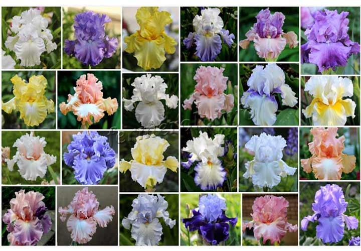 Фото разных расцветок цветов ирисов