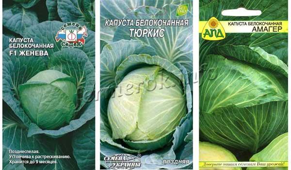 Фото лучших зимних сортов капусты для засолки: Женева, Тюркис, Амагер