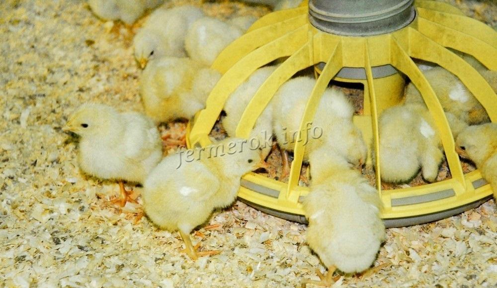 Выращиваем цыплят бройлеров в домашних условиях