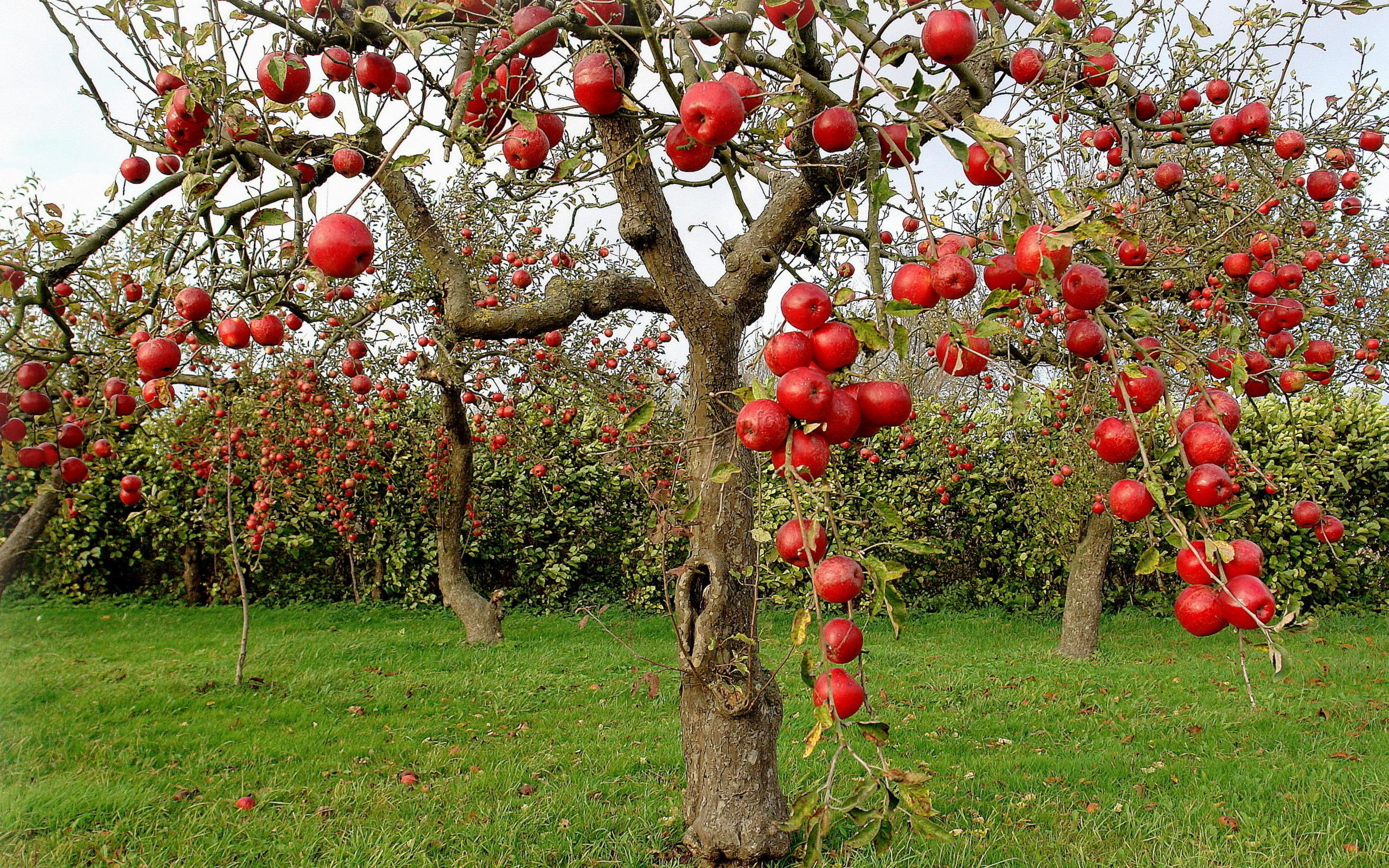 Крупные красные яблока