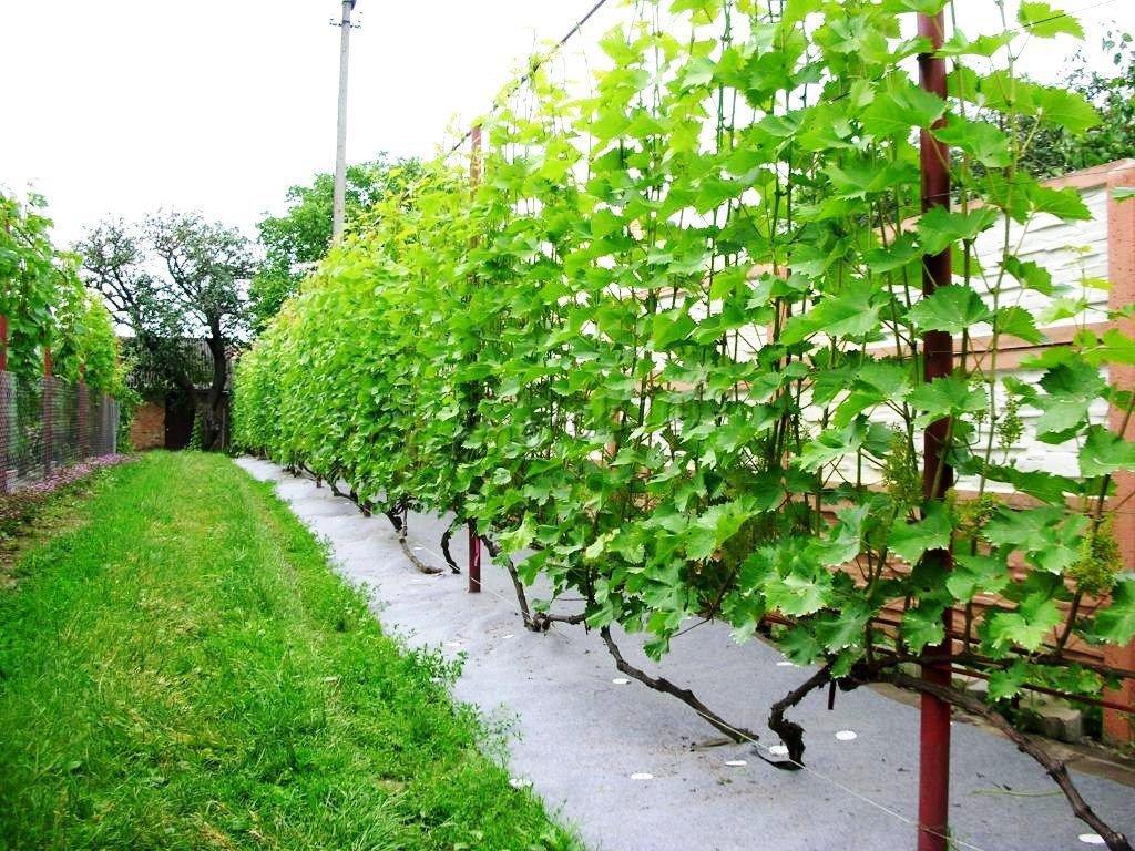 Удобрения для винограда весной