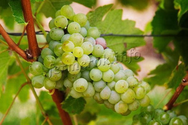 Сорт винограда Совиньон