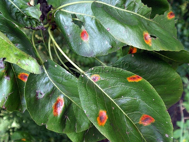 Листья груши в пятнах