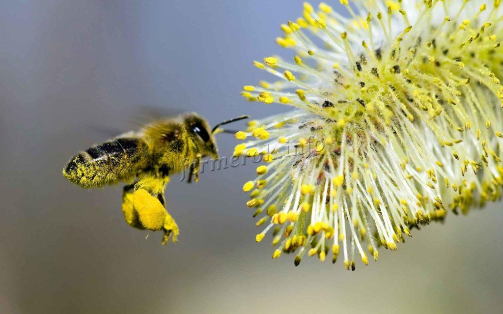 При сборе нектара на пчелу попадает пыльца