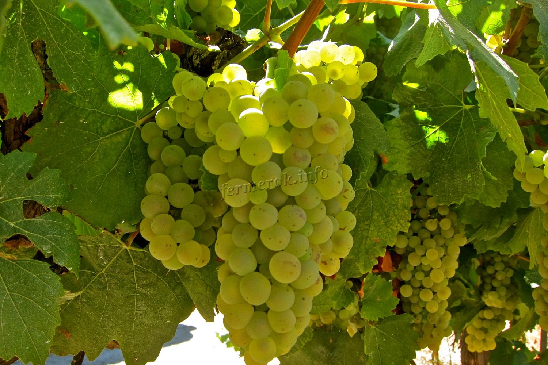 Лучшие белого сорта винограда: посадка и уход