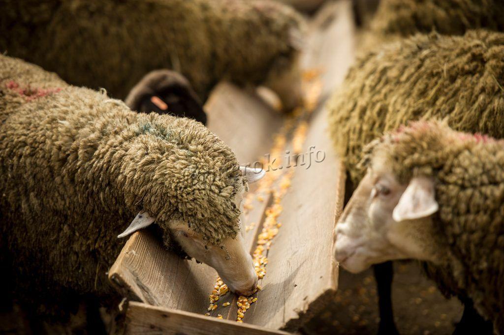 Овцы кушают с кормушки