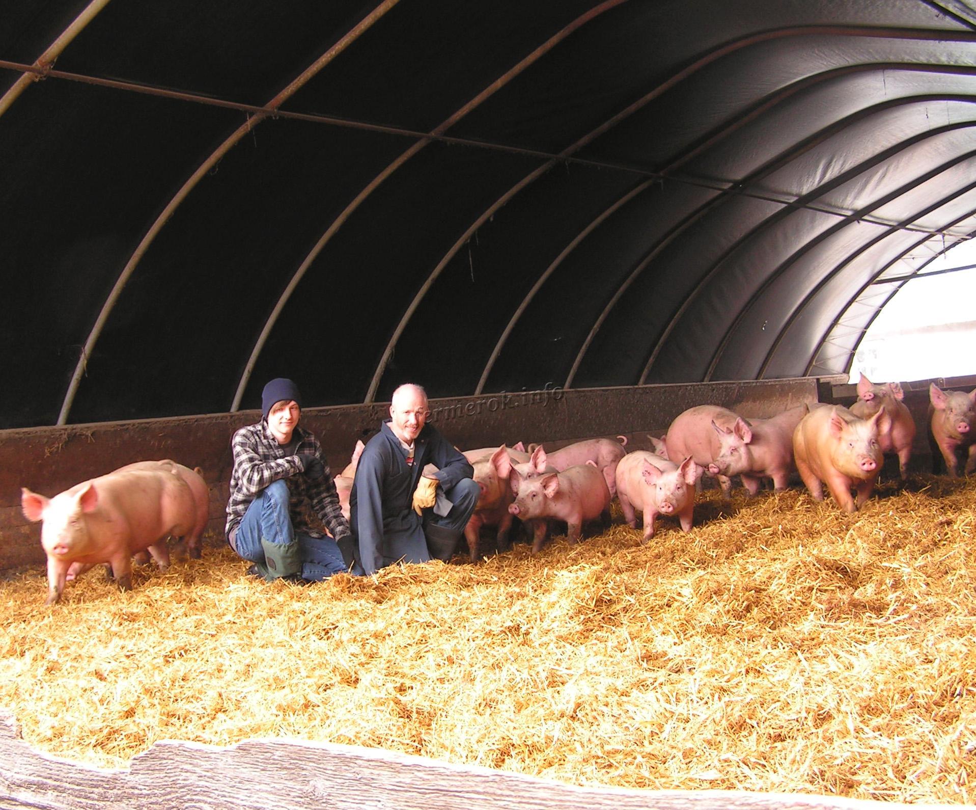 Люди возле свиней