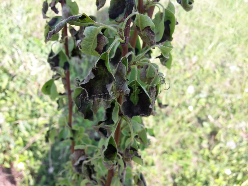 Почерневшие листья груши