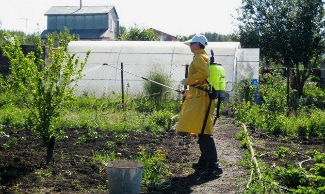 Женщина опрыскивает яблоню