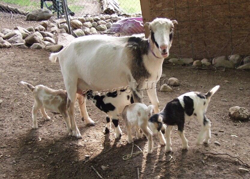 Выводок козы породы Ламанча