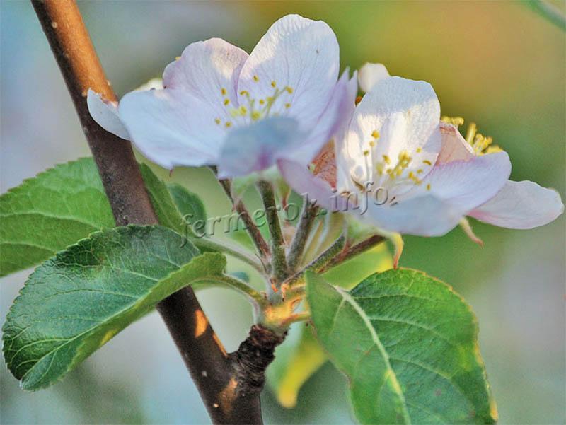 Цвет яблони