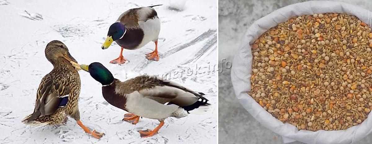 Особенности зимнего питания уток