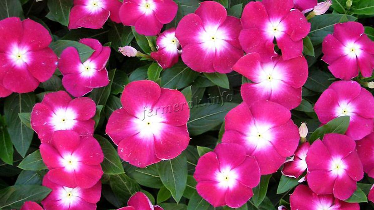 Почва и посадка цветка Барвинка