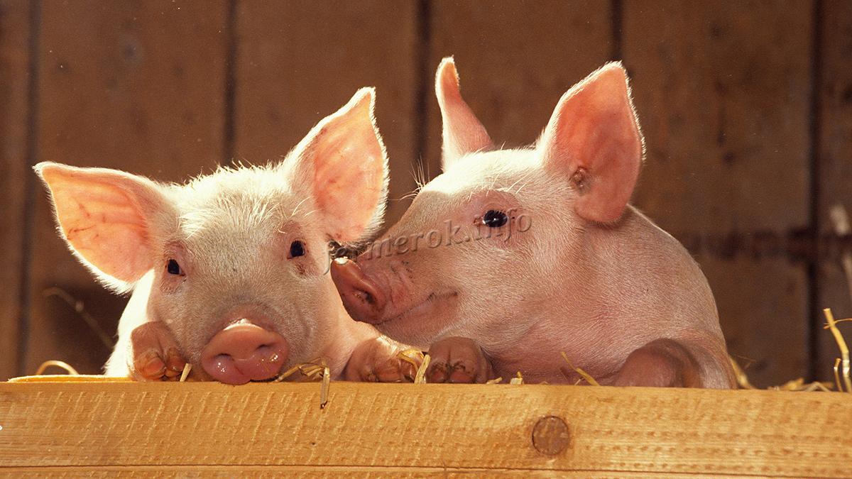 Особенность сальных пород свиней