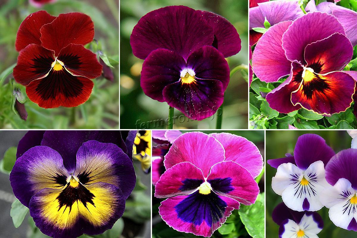 Анютины глазки: сорта, посадка, выращивание и уход