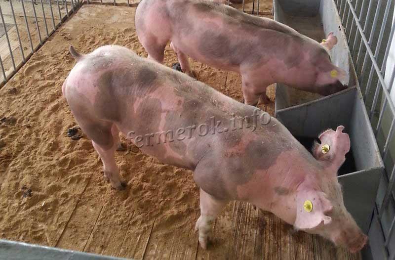 Рацион кормление свиней