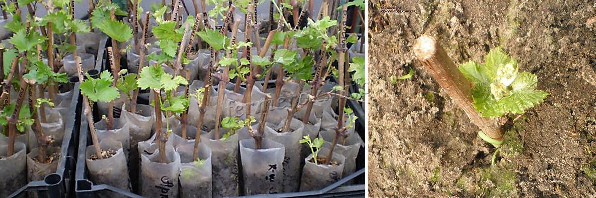 Преимущества осенней посадки винограда