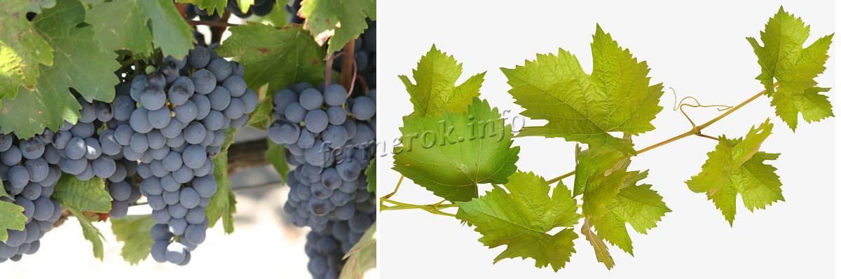 Листья виноград Изабелла