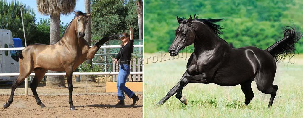 Характер Андалузской лошади