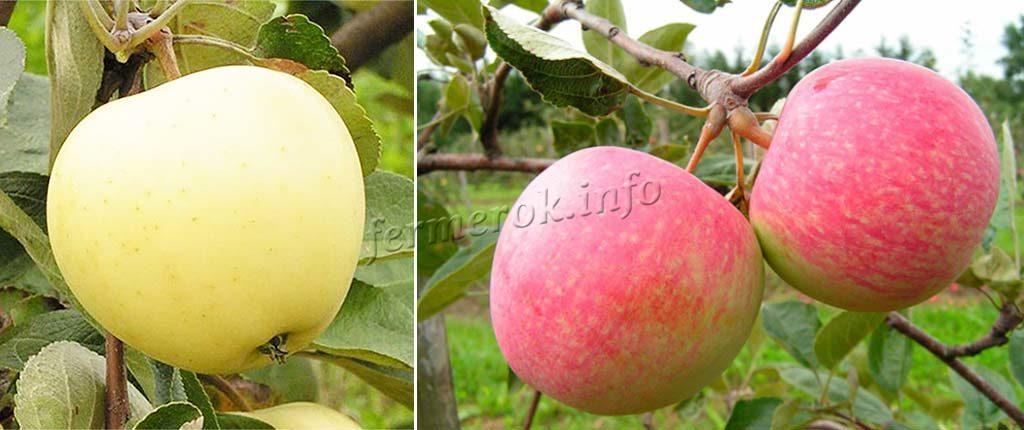 Ранние яблони для средней полосы России