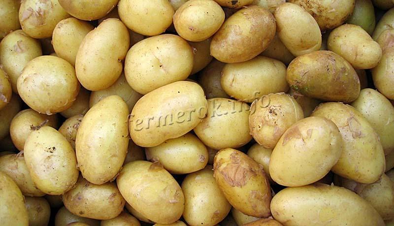 Характеристики картофеля Скарб