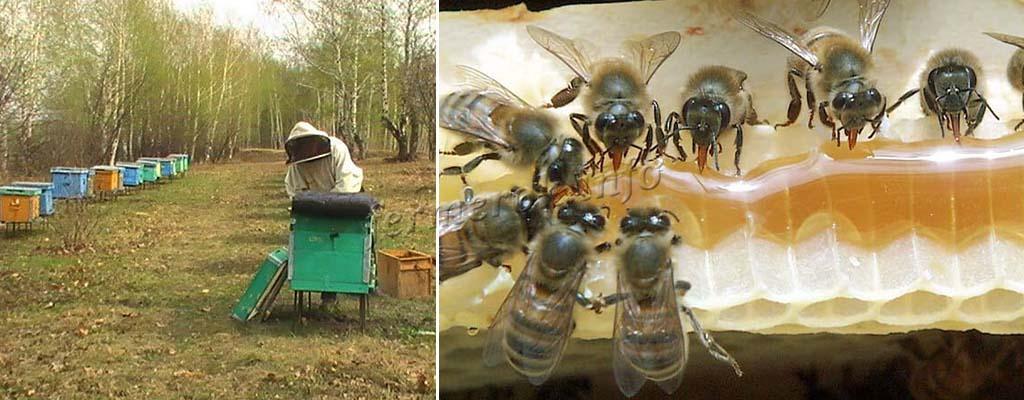Подкормка пчел до облета