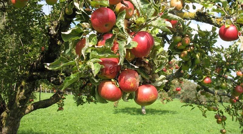 Ранние сорта яблок для Подмосковья