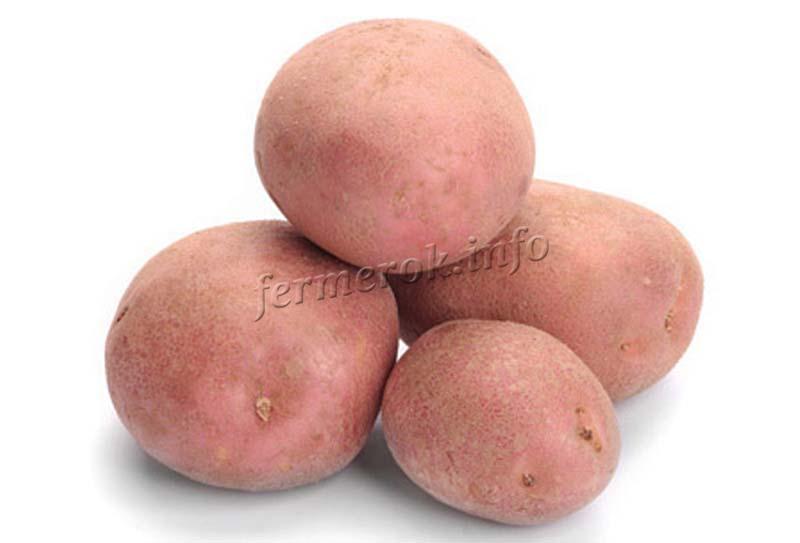 Картофель Беллароза, описание сорта
