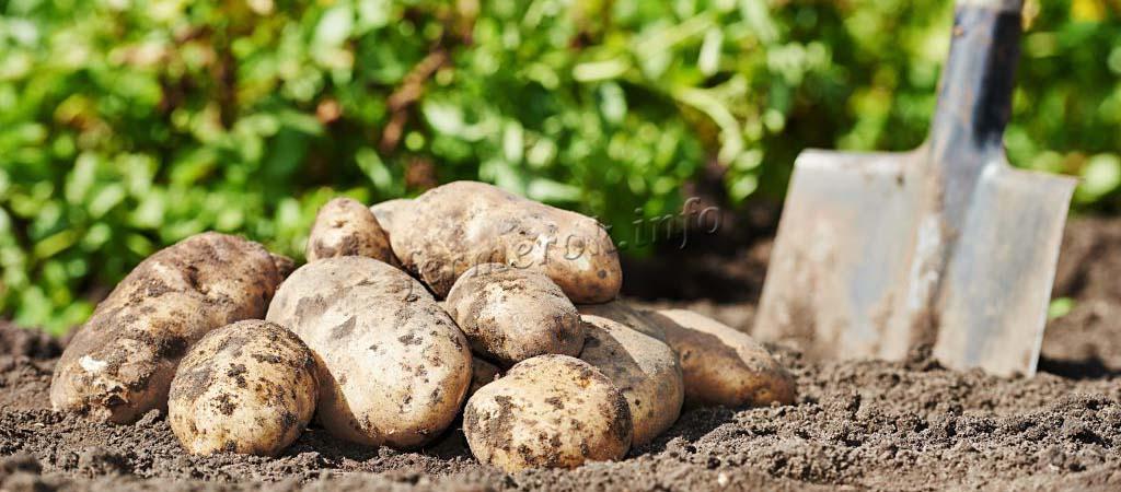 Описание сорта картофеля Бриз