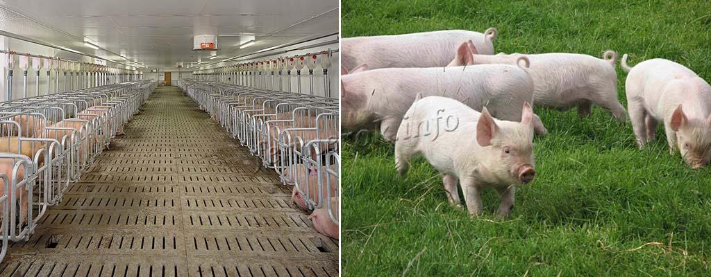 Изображение - Разведение свиней Svinarnik-i-vygul-svinej