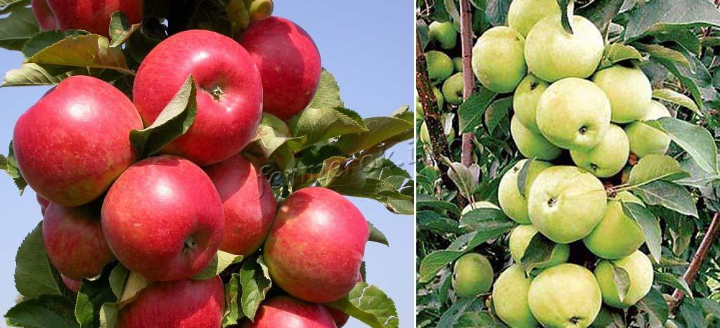 Колоновидные ранние яблони