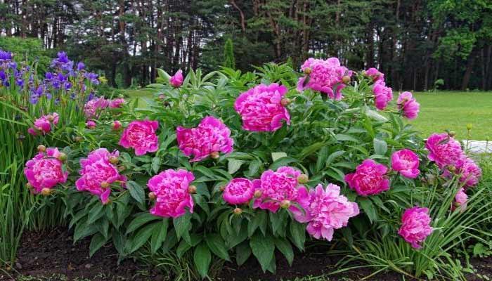 Фото куста цветущих пионов