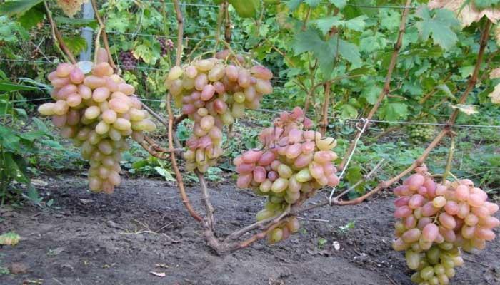 Винограда Преображение фото сорта