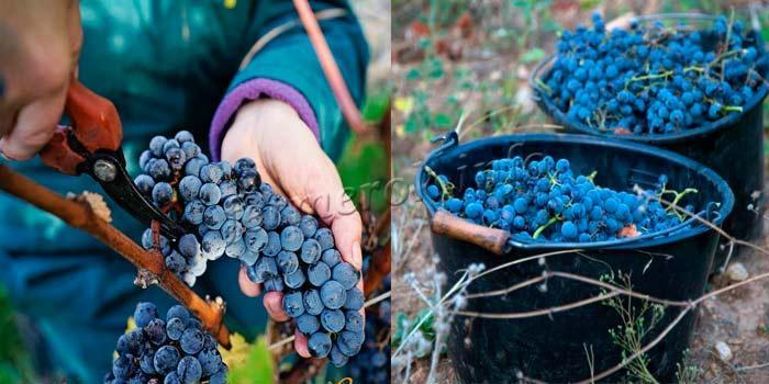 Фото сбора урожая винограда сорт Кубань