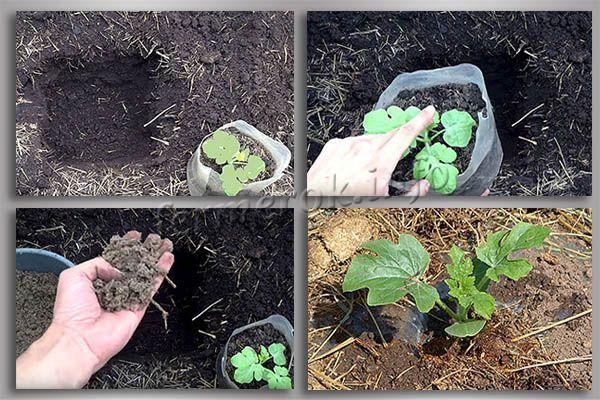 Фото посадки арбуза в грунт