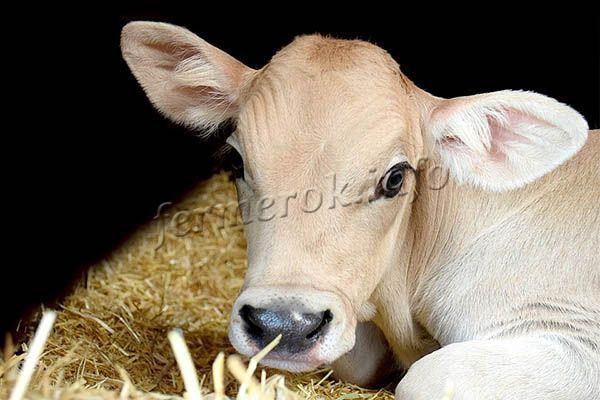 Фото здорового теленка