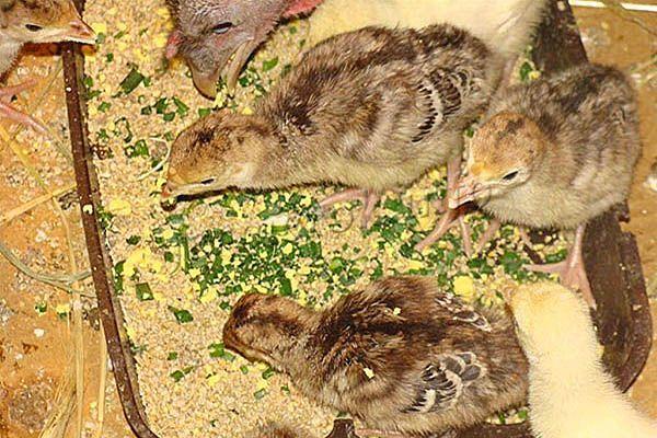 Индюшата любят перья зеленого лука