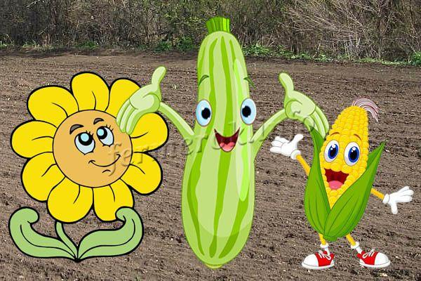 Кабачки, кукуруза и подсолнух на одном участке