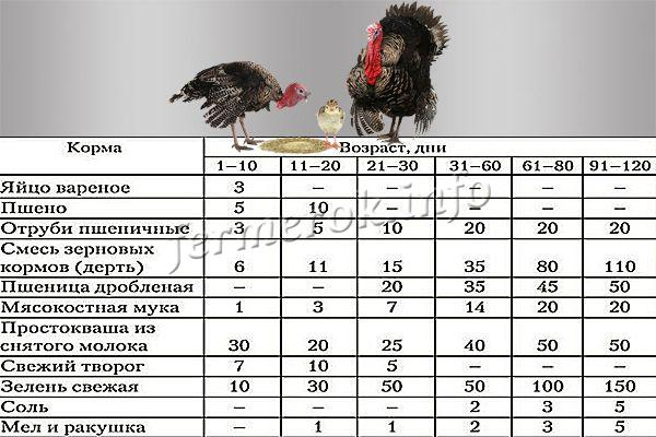 Индюшата- уход и выращивание в домашних условиях для начинающих, таблица кормления и температура содержания от 0 до 4 месяцев