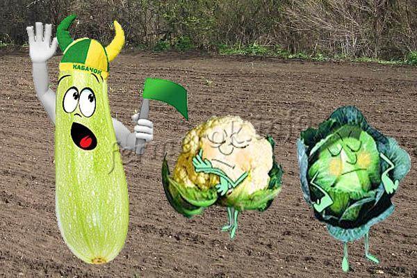 Можно и сажать капусту рядом с кабачками