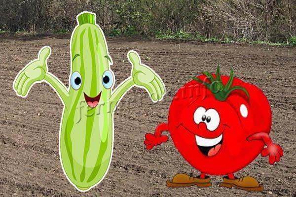Можно ли сажать кабачки рядом с помидорами