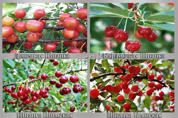 Разновидности вишни Шпанка
