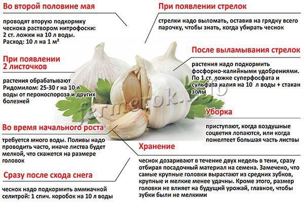 Уход за чесноком от посева до хранения