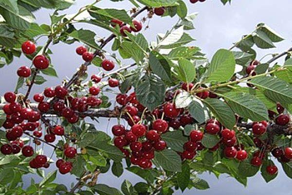 Урожайность Овстуженки высокая – около 30 кг с дерева