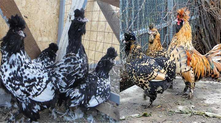 Расцветка Павловской породы кур