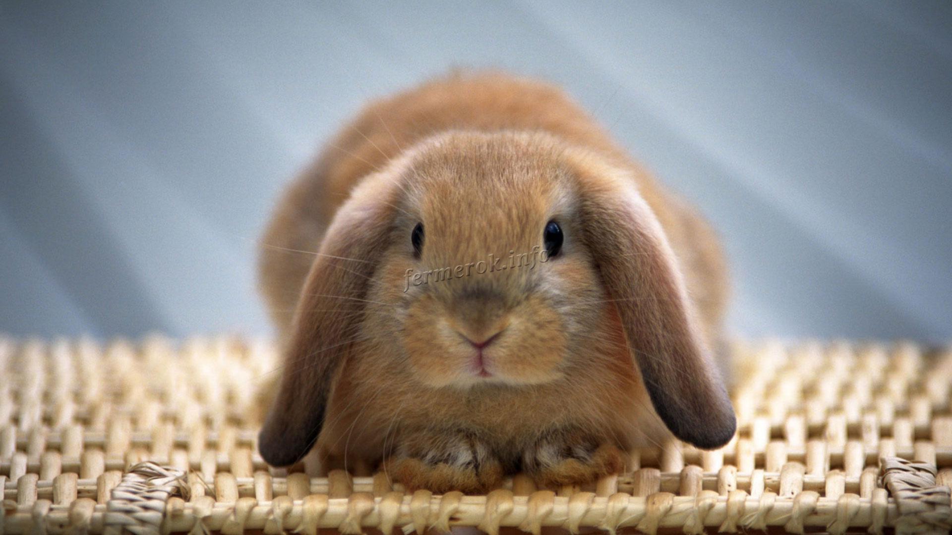 Длительность жизни вислоухого кролика