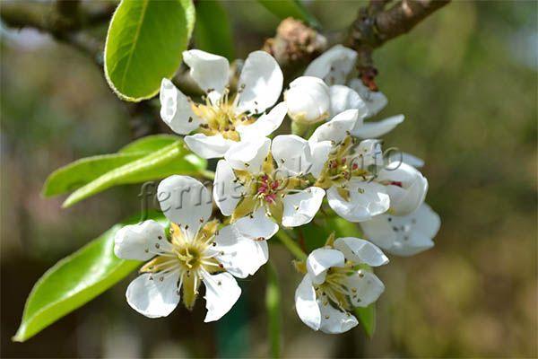 Фото цветения груши