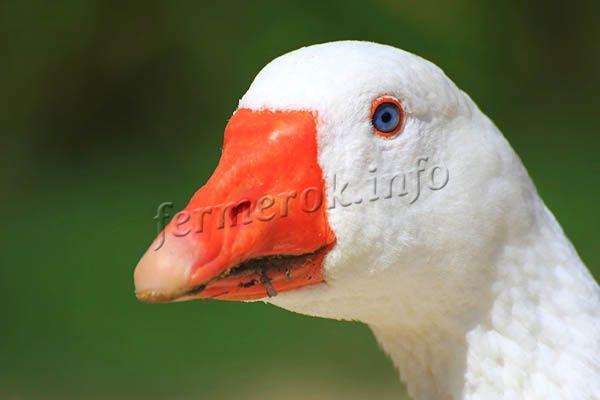 Клюв у Легарда красно-оранжевый, на конце клюва белое пятнышко. Глаза голубые